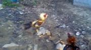 คลิป ไก่พม่า