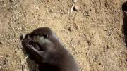 คลิป นาก ตัวนาก otter ดิน ก้อนหิน น่ารัก