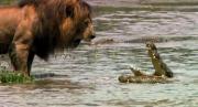 คลายเครียด ขำๆ สิงโต จรเข้ สัตว์ สัตว์ป่า ชีวิตสัตว์ สารคดี หาดูยาก
