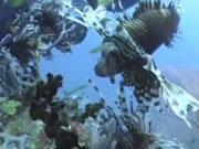 คลิป ปลาสิงโต lion fish scuba diving ดำน้ำ