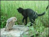 คลิป คลิป นกฮูก กับ แมว เพื่อนซี้ ต่างสายพันธุ์ โด่งดังในยูทูป