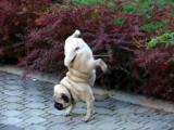 สุนัขฉี่ หมาฉี่ สุนัข หมาปั๊ก พิสดาร funny pug