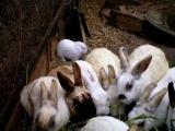 ตะลึง ญี่ปุ่น กระต่ายไม่มีหู พิการ โรงงานไฟฟ้านิวเคลียร์ฟูกูชิมา ไดอิจิ สารกัมมันตภาพรังสี นิวเคลียร