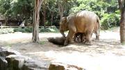 คลิป ช้างน้อยในสวนสัตว์ Chaina ถูกรั้วไฟฟ้าช๊อต!!!