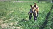คลิป น้องหมา ใส่ขาเทียม 4ขา ตัวแรกของโลก วิ่งฉิวเลยทีเดียว
