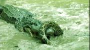 คลิป งูหลาม จระเข้