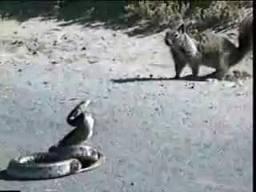 กระรอก งู งูเหลือม ยักษ์ ใหญ่ ธรรมชาติ สัตว์ แปลก โหด สยอง กัด  เสียว