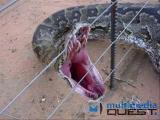 คลิป งู ยักษ์ ตัว มัน ใหญ่ จิงๆ