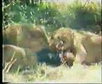 คลิป สิงโต รุมกิน นักท่องเที่ยว เหตุการณ์จริง พ.ศ2518