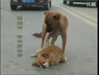 คลิป ซึ้ง! หมาเฝ้าเพื่อนกลางถนนหลังถูกรถชน