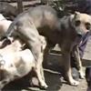 คลิป น่ารัก! สุนัข ให้นมน้องหมู 14 ตัวในคิวบา