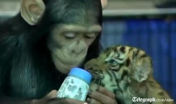 คลิป สุดยอด ฉลาด ชิมแปนซี  ป้อนนม ลูกเสือ สมุทรปราการ