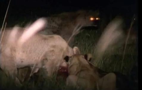 เหลือเชื่อ หมาป่า ไฮยีน่า ไล่ กัด สิงโต