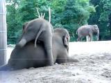 คลิป แม่ช้าง ลูกช้าง ช้างเล่นกัน ความน่ารัก ช้างน่ารัก