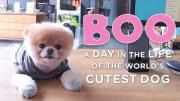คลิป น้องหมา Boo หมาน้อยสุดน่ารัก หมาที่ต้องออกไปทำงาน