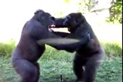 กอลริลล่า ต่อสู้กัน สวนสัตว์ San Diego Zoo