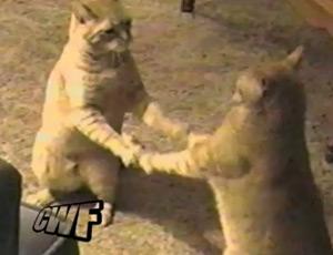 คลิป แมวแฝด หน้าเหมือนกัน การกระทำยังเหมือนกันอีกด้วย น่ารักอ่ะ