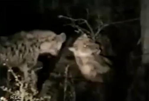 Hyenas kill and eat lion for lunch ไฮยีน่า ฆ่า กินสิงโต สยอง