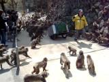 คลิป ตื่นเต้น ลิง อาหาร ให้อาหาร วิธี ญี่ปุ่น วิ่ง หิว Takasakiyama Monkey Park in Beppu, Japan