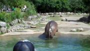 ฮิปโป  ฮิปโปตด ขี้แตก ตด ผายลม Hippo Butt Explosion