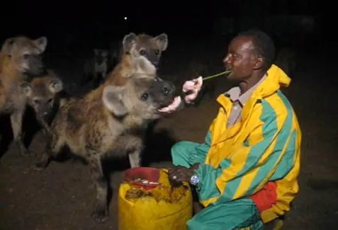 ป้อน อาหาร ไฮยีน่า เอธิโอเปีย ตื่นเต้น หวาดเสียว