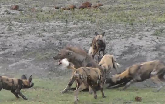 ไฮยีน่า หมาไน รุมกัด ป่า บอตสวาน่า