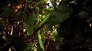งูกรีนแมมบ้า ทำความรู้จักกับ งู Green Mamba งูพิษสายพันธุ์แอฟริกา