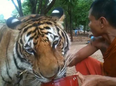 เสือโคร่ง หม่ำต้มจืด แปลก หาดูยาก วัดเสือ ประเทศไทย