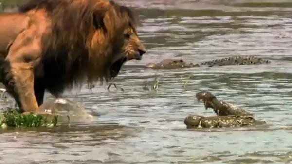 สิงโต เผชิญหน้า จระเข้ น่ากลัว ตื่นเต้น อันตราย ยิ่งใหญ่