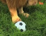 สิงโต ฟุตบอล บอล แมว เสือ สวนสัตว์ แปลก ตลก ขำๆ ฮา คลายเครียด สัตว์