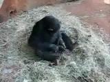 ลิง ลิงชิมแปนซี ข่มขืน กบ