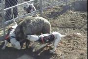 ฝึกสุนัขล่าเนื้อ