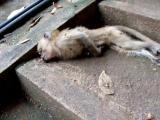 สัตว์ป่า ลิง ลูกลิง ตาย ร่อแร่ ใกล้ตาย ลมหายใจ
