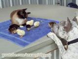 คลิป พิทบูล แมว ลูกเจี๊ยบ เพื่อนซี้ต่างสายพันธุ์