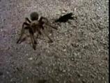 แมงมุม ตัวต่อ การต่อสู้ ตาย