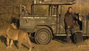 เก่ง กล้า บ้าบอ คน สิงโต ท้าทาย อันตราย น่ากลัว ซาฟารี แอฟริกา
