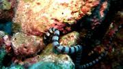 คลิป งูทะเล ปลาไหลทะเล