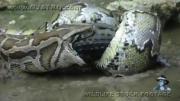 คลิปงูหลามโหด กิน จระเข้เป็นๆทั้งตัว
