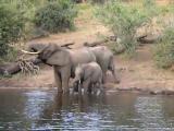 ช้างเล่นน้ำไม่มอง เลบโดนจระเข้งับงวง
