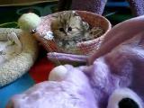 คลิป ลูกแมวเปอร์เซีย น่ารักมากๆครับ