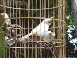 นก กรงหัวจุกชีปะขาว หายาก