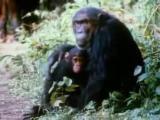 คลิป โคตรฮา เสือปลอม แกล้งลิงชิมแปนซี โดนลิงทุบซะเละ