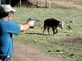 คลิป ยิงปืน วัวไม่รู้สึกอะไรเลย