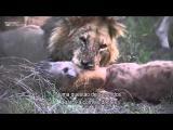สิงโตฆ่า ไฮยีน่า ด้วยเหตุผล 2 อย่าง