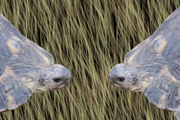เต่า มีเซ็ก ร่วมรัก จินตนาการ