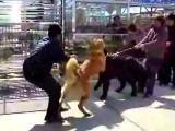 คลิป หมาใหญ่ที่นำมาประกวดเกิดกัดกัน