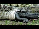 คลิป Python eats Alligator เขมือบเข้าไปทั้งตัว งูยักษ์กินจระเข้