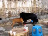 คลิป คนใจทรามให้หมากัดกัน Tibetan Mastiff vs. Pit Bull
