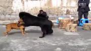 พวกทารุณสัตว์จับ พิทบูล กัดกับ ทิเบตัน มาสทิฟฟ์