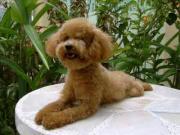 ศิริมงคล  พูดเดิ้ล  สุนัข  Dog Poodle